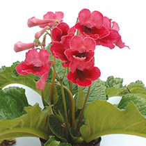 Streptocarpus Plant Collection