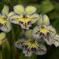 Streptocarpus Plant - Seren