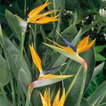 Strelitzia reginae Seeds - Bird of Paradise