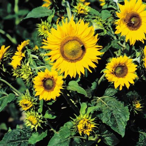 Sunflower Irish Eyes Seeds