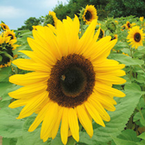 Giant Yellow produces enormous sunflowers that children love to grow. The flowers are like very large daisies with brightly coloured petals. HA Hardy