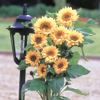 Sunflower F1 Peach Passion Seeds
