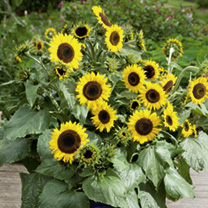 A great value, easy-to-grow, multi-headed variety, producing masses of golden flowers with large, dark, central discs. The bushy plants are ideal for