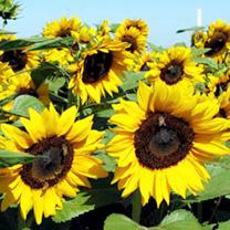 Sunflower Seeds - Goldrush