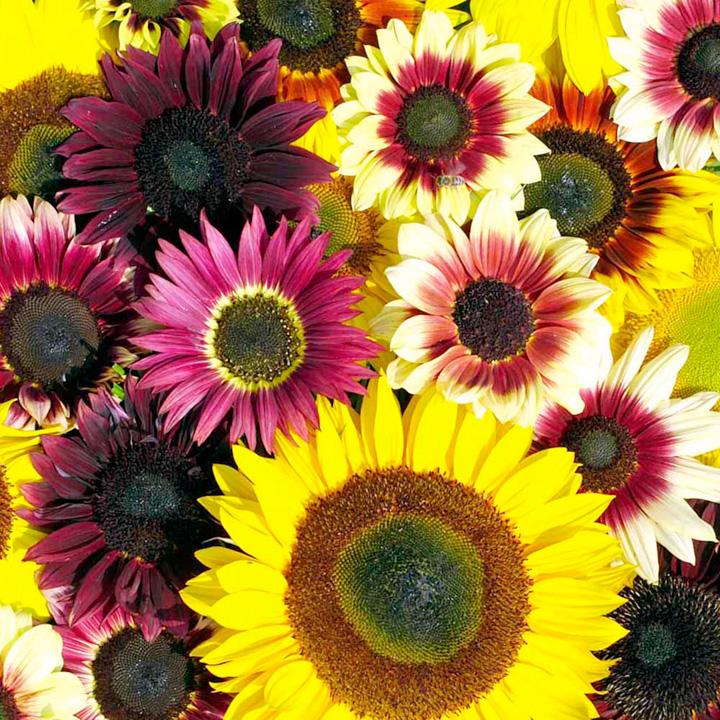 Sunflower Seeds - Summer Long