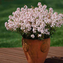 Sundiascia Plants - Sakura Pink