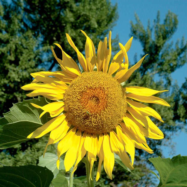 Sunflower Seeds - Pike's Peak