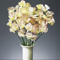 Sweet Pea High Scent (12)