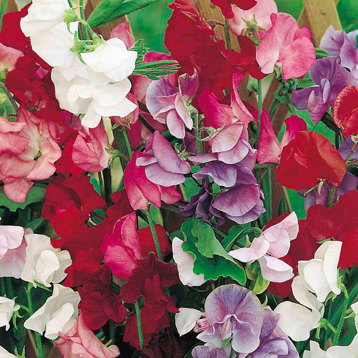 Sweet Pea Seeds - Jet Set Mix