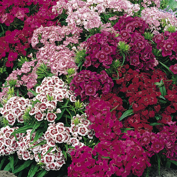 Sweet William Pinocchio Seeds