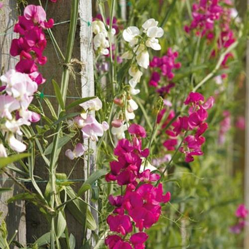 Sweet Pea Plants - Everlasting