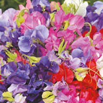 Sweet Pea Plants - Long Stem Mix