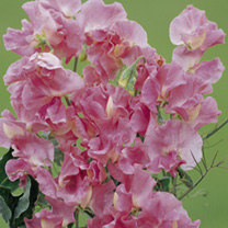 Sweet Pea Seeds - Mrs R Bolton