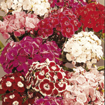 A first-class sweet william producing lots of fowers in a bright range of traditional colours. Springtime fragrance. Clustered heads of very fragrant