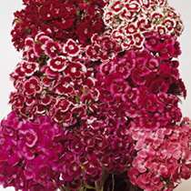 A vigorous growing sweet william in salmon, scarlet and purple shades. Each flower has a well-defined eye. Springtime fragrance. Clustered heads of ve