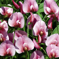 Sweet Pea Plants - Tingitanus Roseus