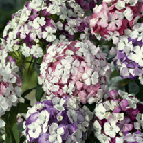 Sweet William Seeds - Kaleidoscope Mix