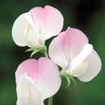 Sweet Pea Seeds - Theresa Maureen