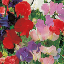 Old fashioned scented Mix Sweet Peas 134254