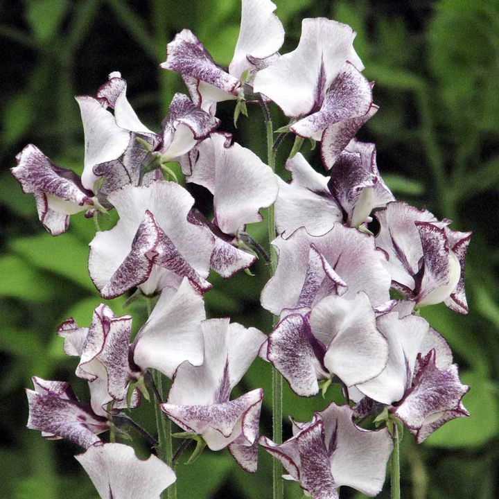 Sweet Pea Seeds - Nimbus