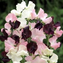 Sweet Pea Seeds - Star-Crossed Lovers