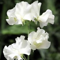Sweet Pea Seeds - Anne Gregg