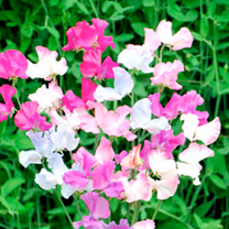 Sweet Pea Seeds - Honeydew