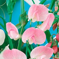 Lathyrus Latifolius Plant - Pink