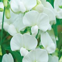 Lathyrus Latifolius Plant - White