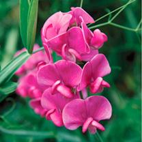 Lathyrus Latifolius Plant - Red