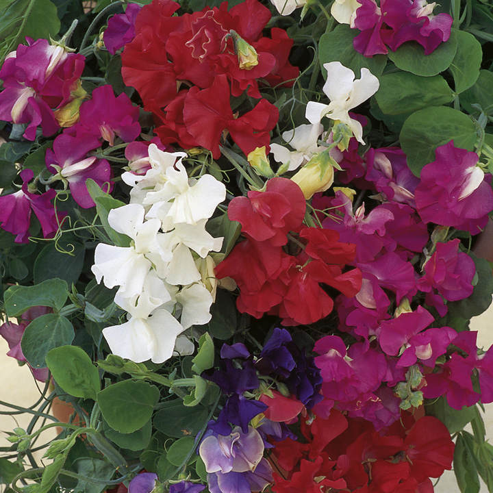 Sweet Pea Patio Mix Seeds