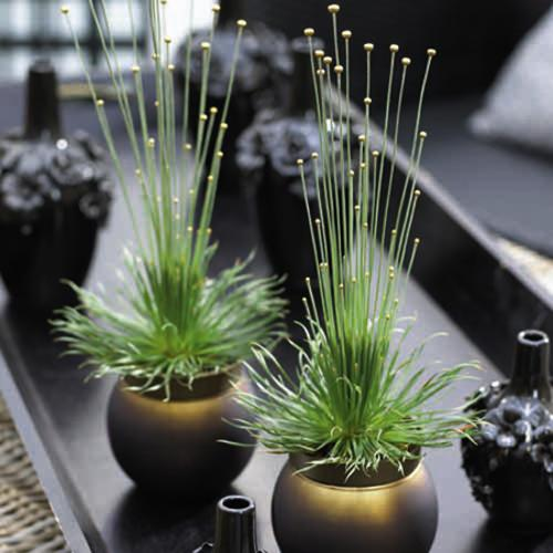 Houseplant - Syngonanthus Mikado