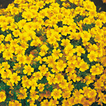 Mounded plants producing a profusion of small, golden flowers throughout the summer. Bushy plants covered with single flowers. Lovely for bedding and
