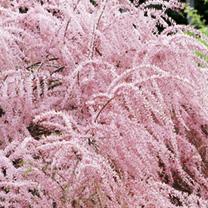 Tamarix tetrandra Plants