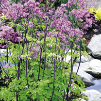 Thalictrum Plant - Black Stockings