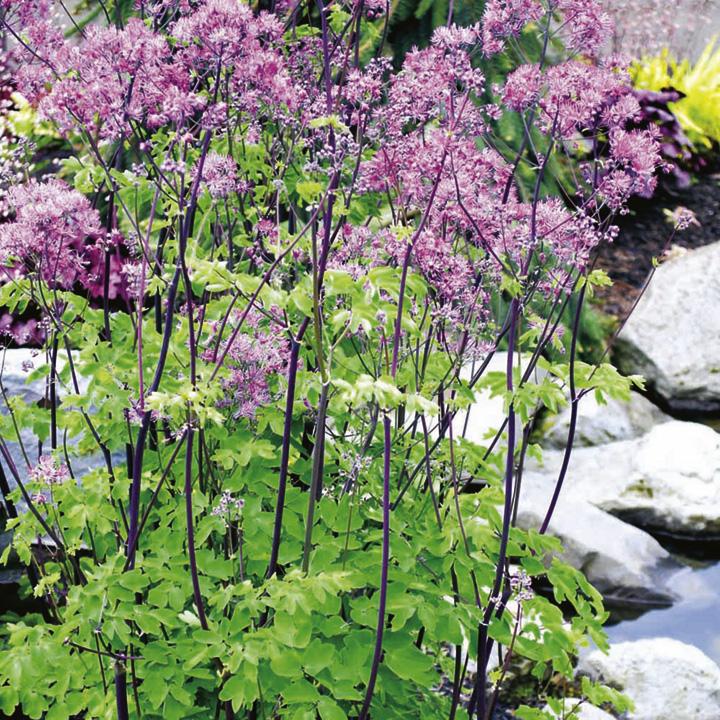 Thalictrum Plant - Black Stockings