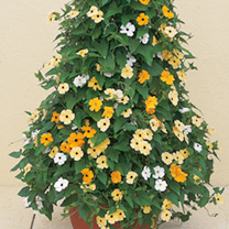 Thunbergia Plants - Susie Mix