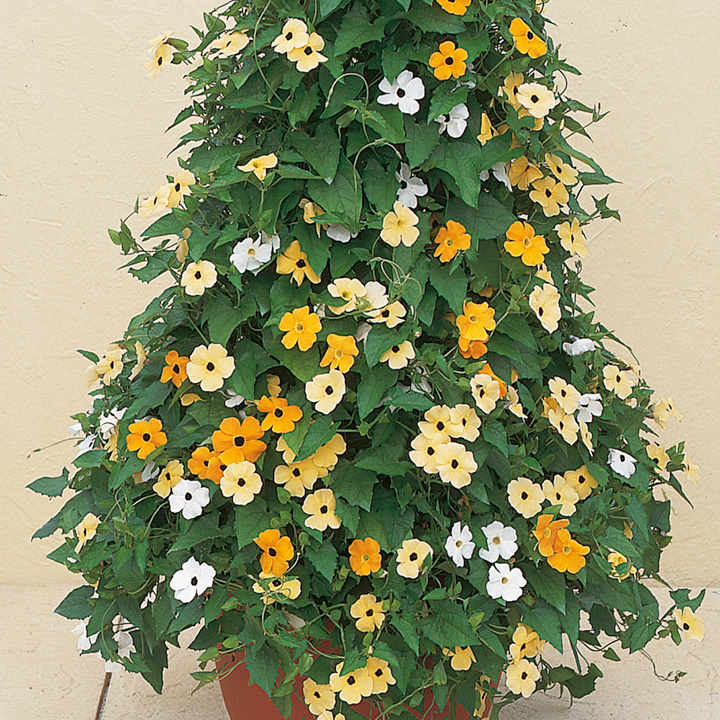 Thunbergia Plants - Susie Mix