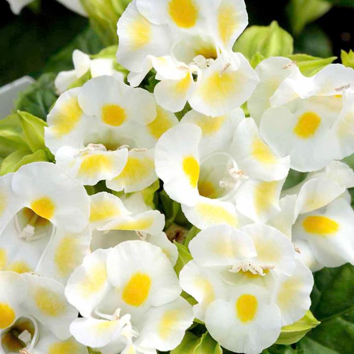 Torenia Seeds - Lemon Drop