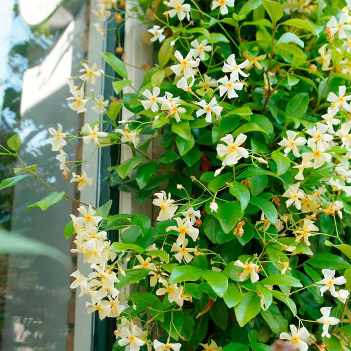Trachelospermum Jasminoides Plant -Star of Toscane