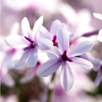 Tulbaghia Plant - Purple Eye