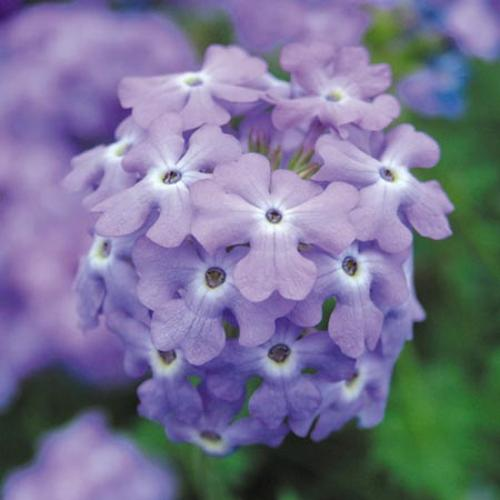 Verbena Trailing Plants - Tapien Sky Blue