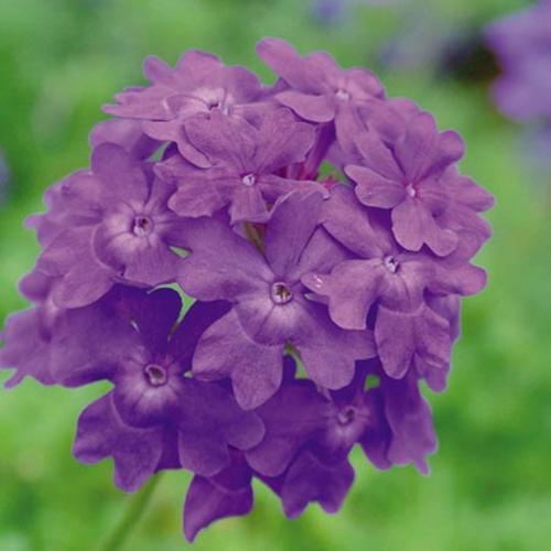 Verbena Trailing Plant - Tapien Violet