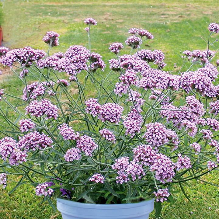 Plants & Plant Care Verbena bonariensis Lollipop