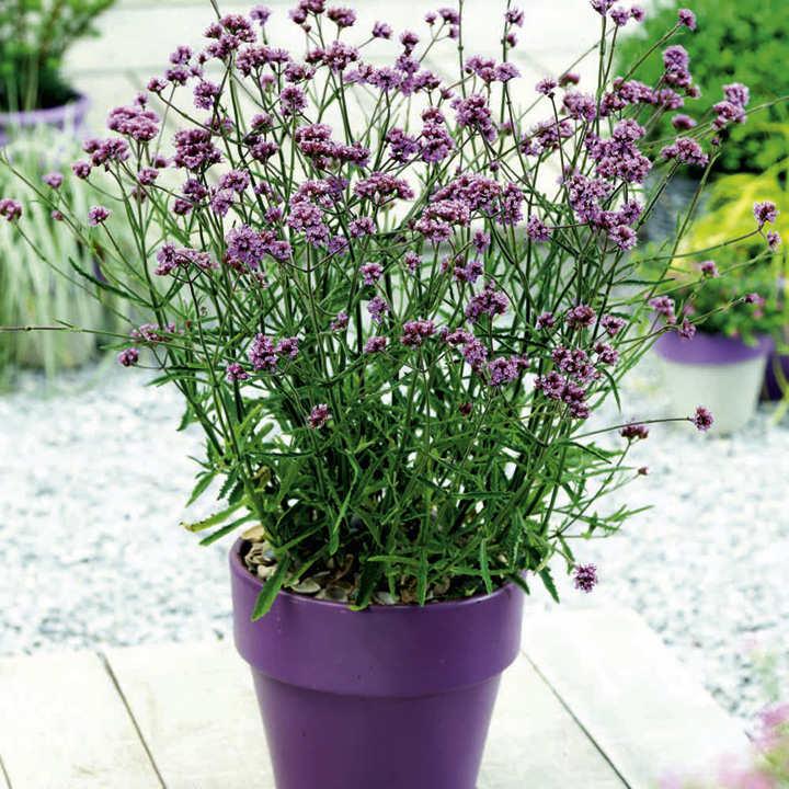 Verbena bonariensis Plant - Lollipop