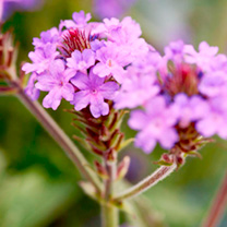Verbena Plants - Santos Purple