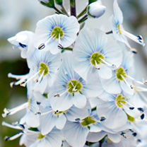 Veronica Plant - Gentianoides