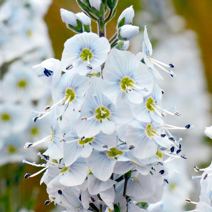 Verbascum Plant - Flush of White