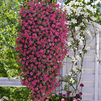 Hanging Basket - Verbena Mix