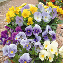 A large-flowered variety with fragrant flowers that are tasty and perfect for cake decoration. Compact plants, blooming freely from spring to autumn i